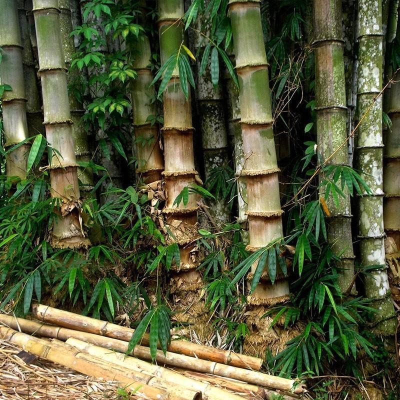 vendita online semi di bamb gigante dendrocalamus strictus ForVendita Piante Bambu Gigante
