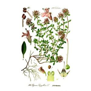 Semi di Timo Selvatico (Thymus pulegioides)