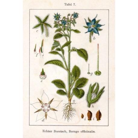 Semi di Borragine a fiore bianco (Borrago officinalis)