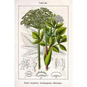 Semi di Angelica (Angelica archangelica)