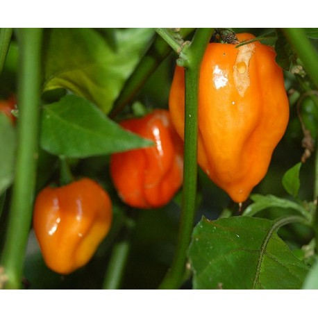 semi di peperoncino habanero orange super piccante