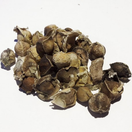 Albero del Rafano (Moringa oleifera)