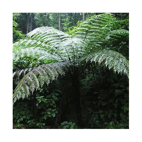 Felce Spinosa (Cyathea spinulosa)