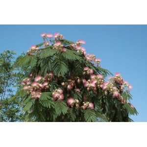 Semi di Acacia di Costantinopoli (albizia julibrissin)