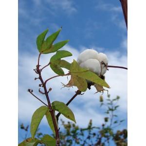 Semi di Cotone (Gossypium barbadense)