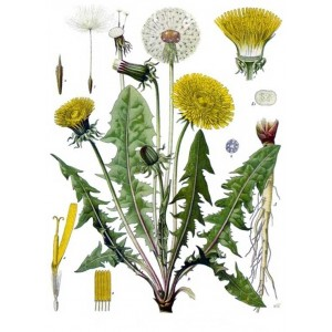 Semi di Tarassaco ( Taraxacum officinalis)