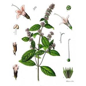 Semi di Mentuccia (Mentha pulegium)