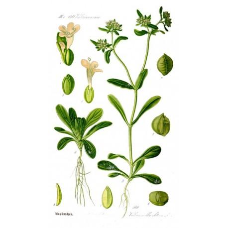 Semi di Valeriana (Valerianella locusta)