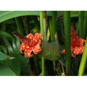 Semi di Palma del Panama (Carludovica palmata)